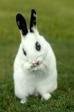 Coelho de coelho branco ao ar livre na grama Fotos de Stock Royalty Free
