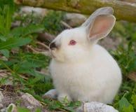 Coelho de coelho branco em gramas verdes Fotos de Stock Royalty Free