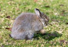 Coelho de coelho muito macio em um campo em Spain foto de stock