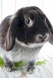 Coelho de coelho no fundo de madeira branco do estúdio Foto de Stock Royalty Free