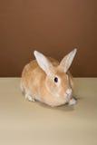Coelho de coelho que levanta em um tubo em um estúdio contra um creme e um ajuste marrom Imagem de Stock Royalty Free