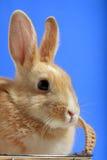 Coelho de Easter no fundo azul imagens de stock