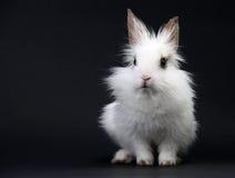 Coelho doméstico branco pequeno imagem de stock