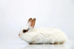 Coelho doméstico branco pequeno Fotografia de Stock Royalty Free