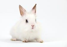 Coelho doméstico branco pequeno no fundo branco Fotos de Stock Royalty Free