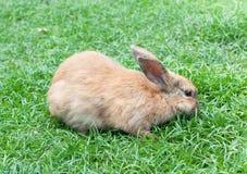 Coelho doméstico pequeno em uma grama verde Fotografia de Stock