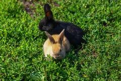 Coelho engraçado pequeno preto e vermelho com orelhas longas Fotografia de Stock Royalty Free