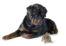 Coelho europeu e rottweiler Foto de Stock Royalty Free