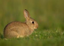Coelho europeu ou coelho da terra comum (cuniculus do Oryctolagus) Fotos de Stock