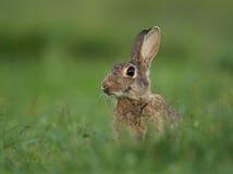 Coelho europeu ou coelho da terra comum (cuniculus do Oryctolagus) Foto de Stock