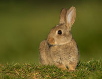 Coelho europeu ou coelho da terra comum (cuniculus do Oryctolagus) Imagem de Stock