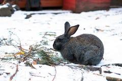 coelho Longo-orelhudo nas montanhas de Altai fotografia de stock