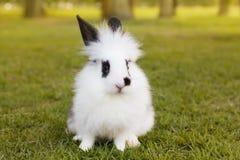 Coelho macio branco e preto do bebê na grama verde no parque Fotos de Stock Royalty Free