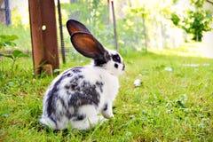 Coelho manchado com as orelhas longas na grama imagens de stock