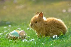 Coelho peludo da Páscoa em um fundo da grama e de margaridas verde-clara com ovos tingidos que se encontram em uma cesta pequena  Fotografia de Stock Royalty Free