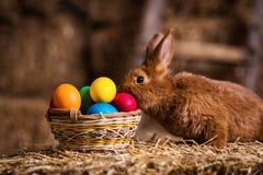 Coelho pequeno engraçado entre os ovos da páscoa na grama da veludinha, wi dos coelhos Foto de Stock