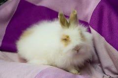 Coelho pequeno macio branco no roxo Imagens de Stock Royalty Free