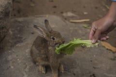Coelho que come vegetais Imagem de Stock