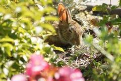 Coelho que descansa no jardim Fotos de Stock