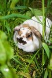 Coelho que esconde nas gramas. Imagens de Stock