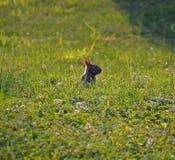 Coelho que olha fora da grama verde e do trevo Imagem de Stock