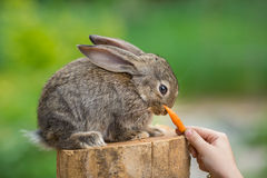 Coelho tímido bonito do bebê Animal de alimentação Fotos de Stock Royalty Free
