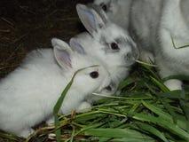 coelhos Fotos de Stock Royalty Free