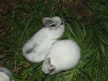 coelhos Fotografia de Stock