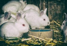 Coelhos brancos bonitos, filtro análogo imagem de stock