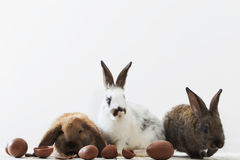 Coelhos com ovos de chocolate Foto de Stock