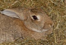 coelhos do animal de estimação Imagens de Stock Royalty Free