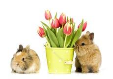 Coelhos do bebê com tulipas Fotos de Stock