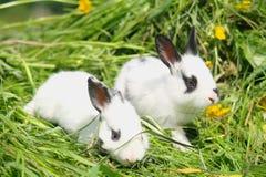 coelhos do bebê na grama verde Fotografia de Stock Royalty Free