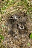 Coelhos do bebê no ninho. Fotos de Stock