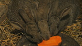 Coelhos pequenos cinzentos em um celeiro que comem cenouras vídeos de arquivo