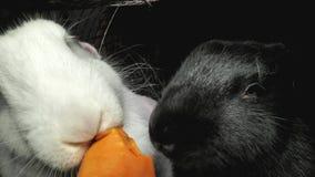 Coelhos preto e branco em comer uma cenoura video estoque