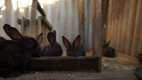 Coelhos pretos bonitos, uma família do coelho e seu close-up idoso da senhora no celeiro A mulher adulta produzirá coelhos dentro filme