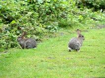 Coelhos selvagens na terra comum de Chorleywood imagem de stock