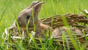 Coelhos um macios bonitos semanais pequenos recém-nascidos em uma cesta de vime na grama verde no verão ou na mola vídeos de arquivo