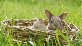 Coelhos um macios bonitos semanais pequenos rec?m-nascidos em uma cesta de vime na grama verde no ver?o ou na mola video estoque