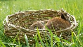 Coelhos um macios bonitos semanais pequenos rec?m-nascidos em uma cesta de vime na grama verde no ver?o ou na mola filme