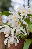 Coelogyna Cristata orchid Stock Photos