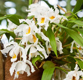 Coelogyna Cristata orchid Stock Images