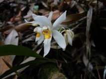 Coelogyne nitida兰花植物群,sunakhari 库存照片
