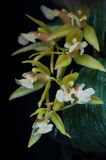 Coelogyne orchid flower macro. Ceologyne flower mutant have two lip petal Royalty Free Stock Image