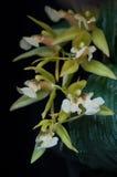Coelogyne storczykowy kwiat makro- Obraz Royalty Free