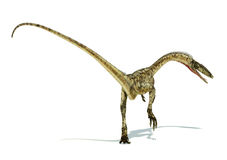 Coelophysis dinosaur photorealistic representation. On white bac. Coelophysis dinosaur photorealistic and scientifically correct representation. On white Stock Images