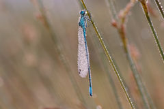 Coenagrion puella Royalty Free Stock Photography