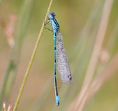 Coenagrion puella Royalty Free Stock Images