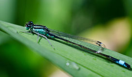 Coenagrion puella on a leaf Royalty Free Stock Photos